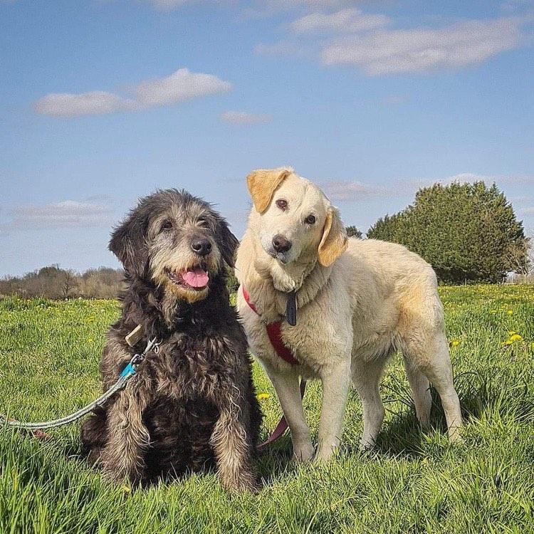 MINNIE griffon et DAISY labrador - 12 ans - Spa d'Azereix (65) vivaient à l'attache dans une grange  Minnie-et-daisy